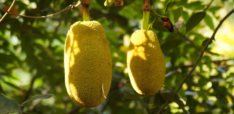 jackfruit blood sugar